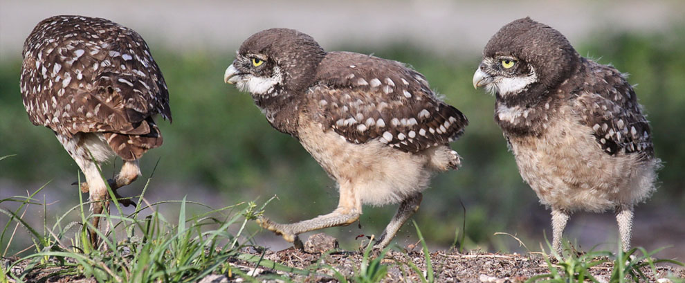 Burrowing Owl Chicks, Pembroke Pines, FL