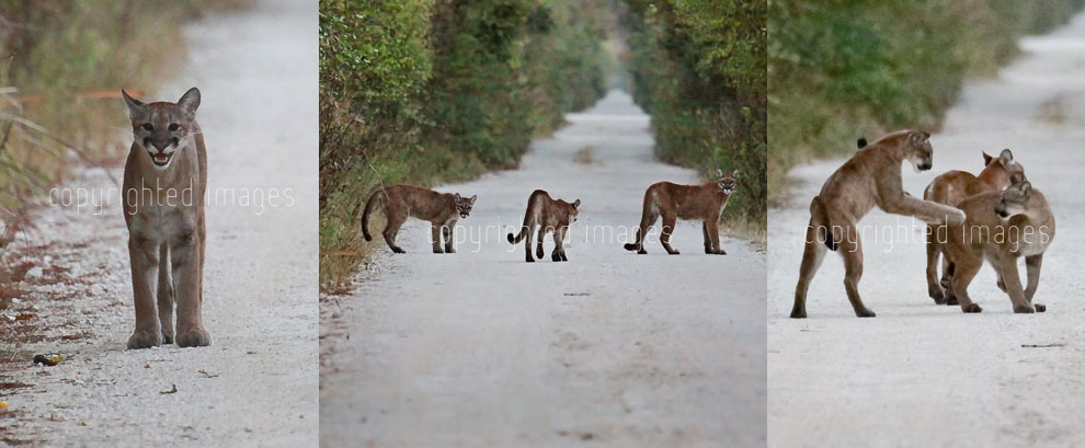 Florida Panther mother and two kittens