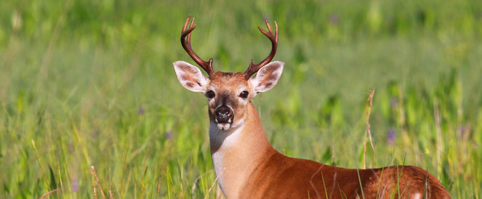White Tailed Buck, Clewiston, Florida
