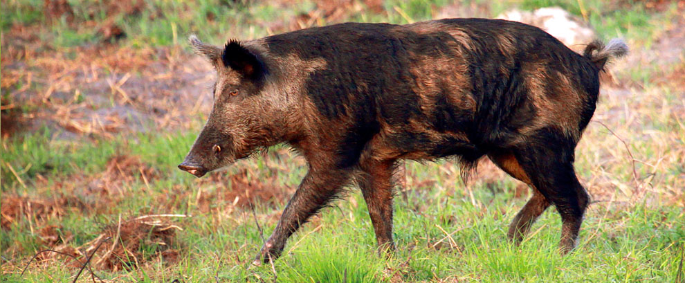Wild Boar, Clewiston, Florida