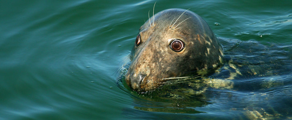 Seal, Chatham Fish Pier, Cape Cod, MA