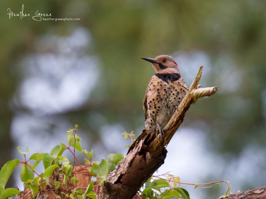 Norther Flicker