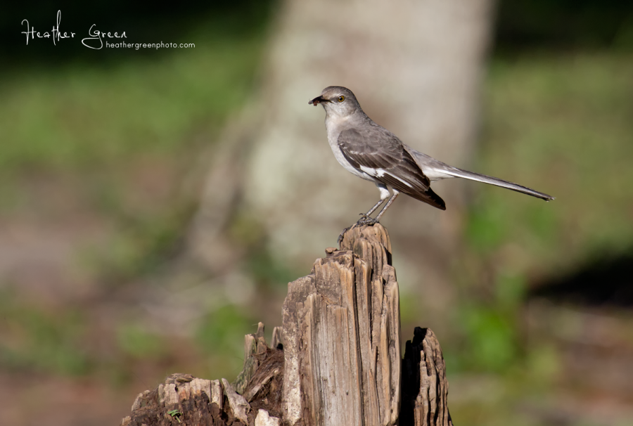 Northern Mockingbird with an insect to feed her babies