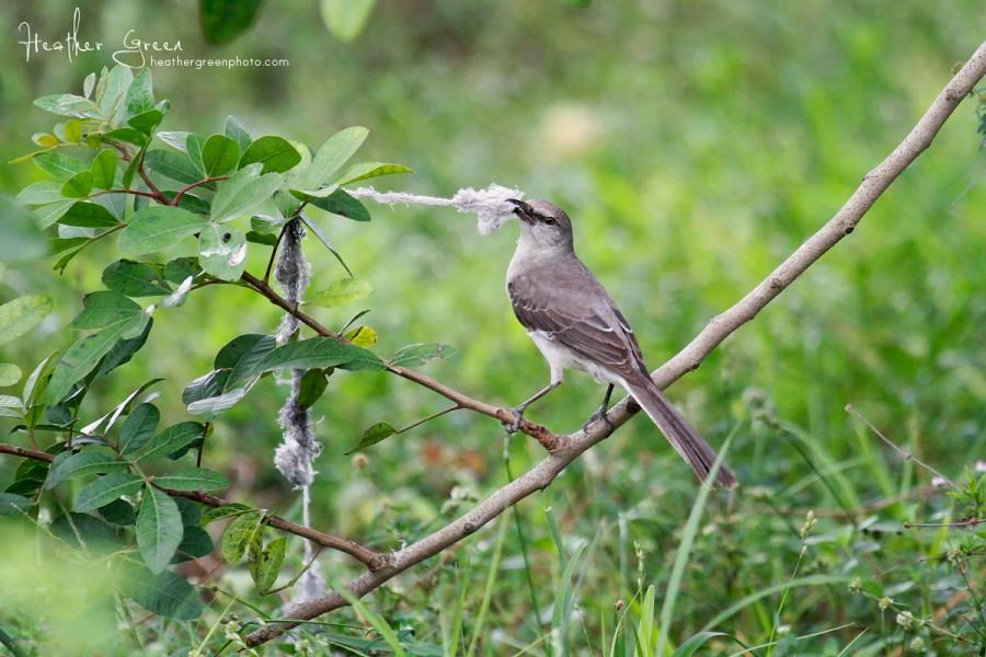 Mockingbird gathering nesting material